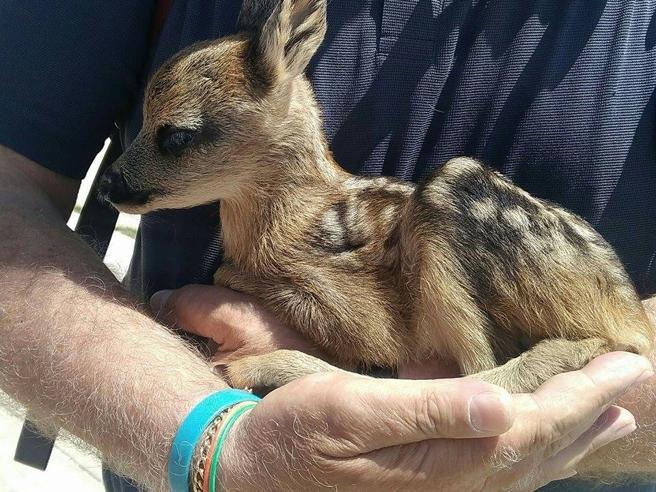 Turisti raccolgono un cerbiatto trovato da solo: «Mai toccare i cuccioli: la madre non lo vorrà più»