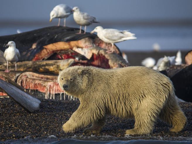 Trump vuole riaprire la caccia a orsi e lupi: «Tradizione americana»
