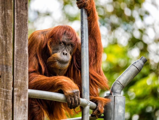 Addio a Puan, la femmina di orango più vecchia al mondo: aveva 62 anni