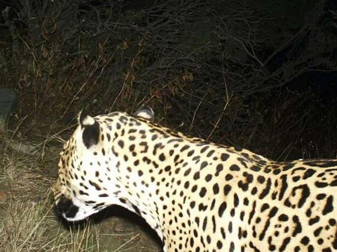 Arizona,  morto l'ultimo giaguaro«Non è chiaro se sia stato ucciso»