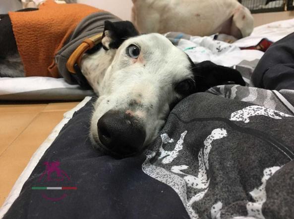Credenza Da Cucina In Spagnolo : Il triste destino dei galgos spagnoli i cani levrieri costretti a