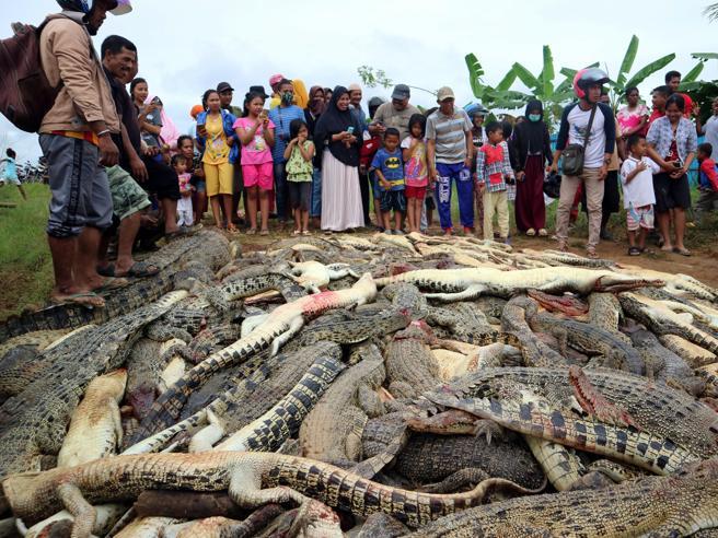 Massacrano 292 coccodrilli per vendicare l'amico sbranato Video
