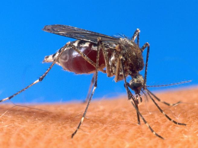 Virus West Nile,  12 casi in Veneto. Morto 77enne Perché può uccidere