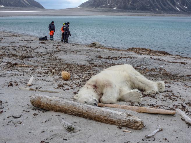 Orso polare ucciso alle isole Svalbard: aveva attaccato una guida