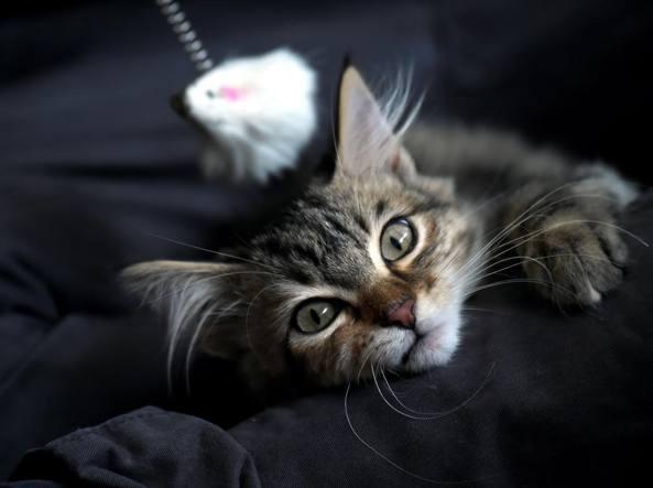 Non è Possibile Possedere Un Gatto Si Può Solo Essere Soci