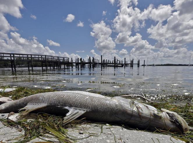 Florida, la marea rossa che fa strage di pesci: «È emergenza»