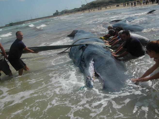 Perché le balene si spiaggiano? Potrebbe essere colpa del morbillo