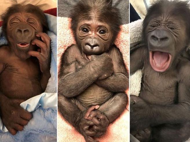 Usa, baby-gorilla nasce nello zoo di Jacksonville: è una specie in estinzione