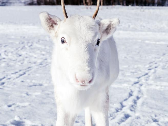 Il Raro Cucciolo Di Renna Bianca Fotografato Per Caso In Norvegia