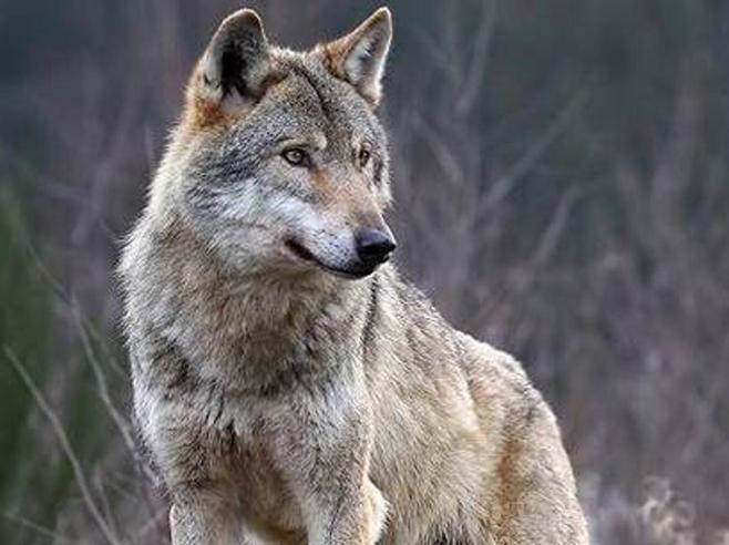 Attenti al lupo! La Germania con la sindrome di Cappuccetto