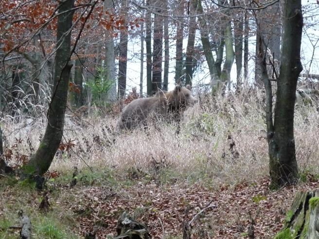 Slovenia Guerra Per Gli Orsi Tra Governo E Ambientalisti Bloccato