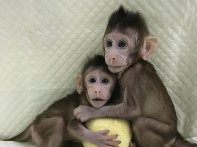 Clonate le prime 5  scimmie malate  per studiare diabete, ansia e tumori: sono insonni