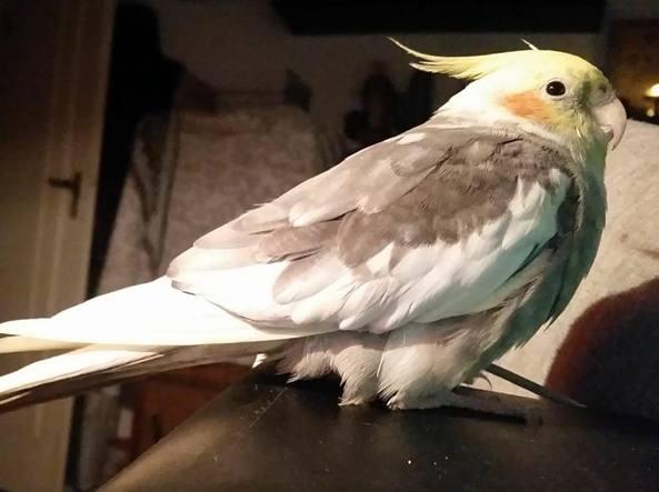 Cipolla, il pappagallo «partigiano» ritrovato perché fischia Bandiera rossa
