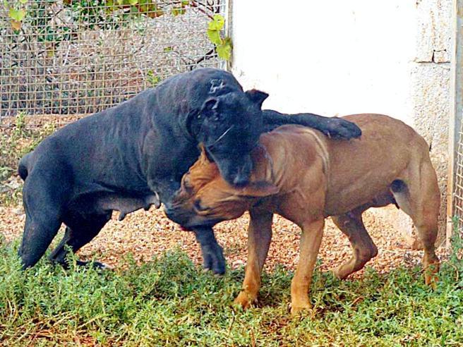 Il corgi della regina e i combattimenti tra cani: le (dis)avventure di Rex