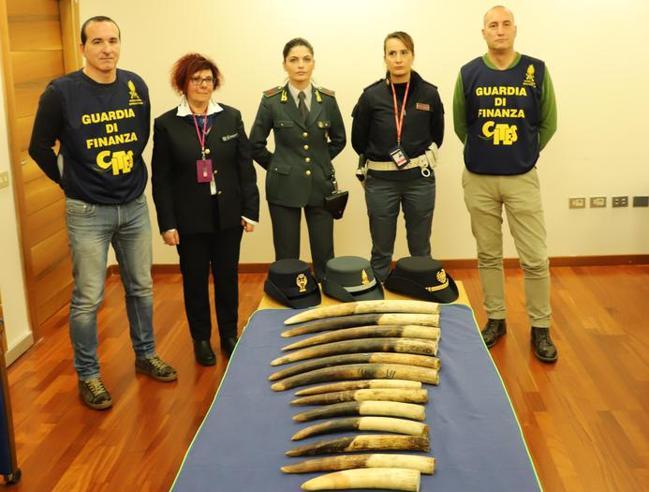 Avorio: 13 zanne di elefante  sequestrate a Genova