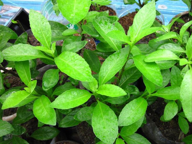 L'estratto di una pianta giapponese può allungare la vita?