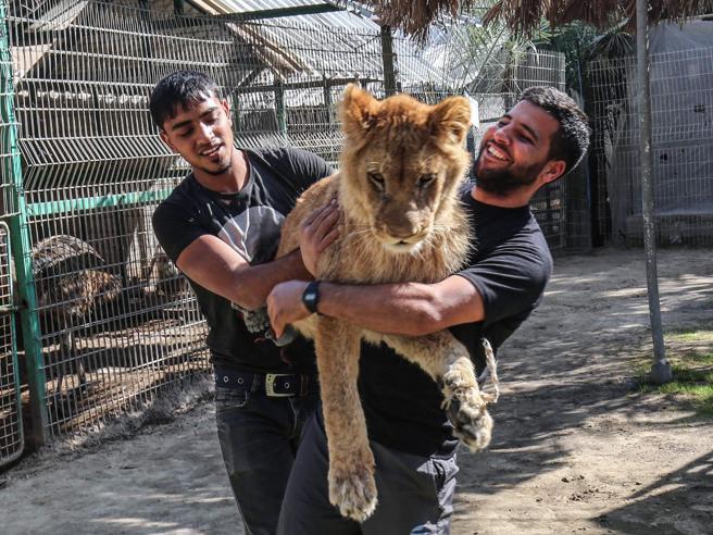 Zoo  rimuove gli artigli a  leonessa per farla giocare con i visitatori