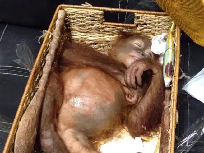 Ha un orango in valigia: turista russo arrestato a Bali