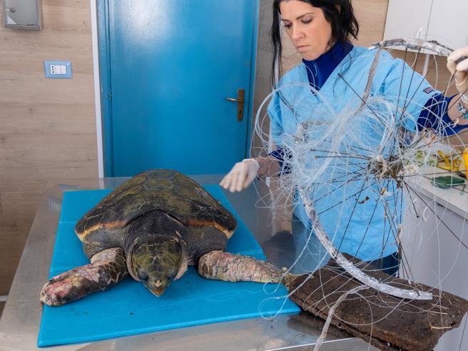 Afrodite non ce l'ha fatta: è morta la  tartaruga  liberata    dai rifiuti