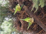 Invasione di pappagalli in Puglia, l'effetto «tropici» distrugge i frutteti