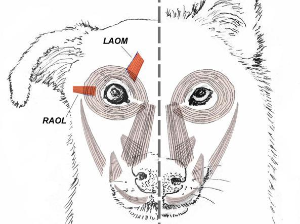Le differenze nella muscolatura degli occhi fra cane (a sinistra) e lupo (Ap)