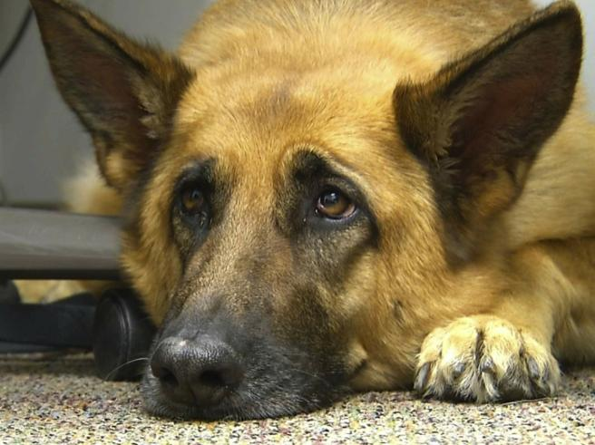 Ecco perché gli occhi dei cani ci parlano: lo sguardo espressivo selezionato dall'uomo