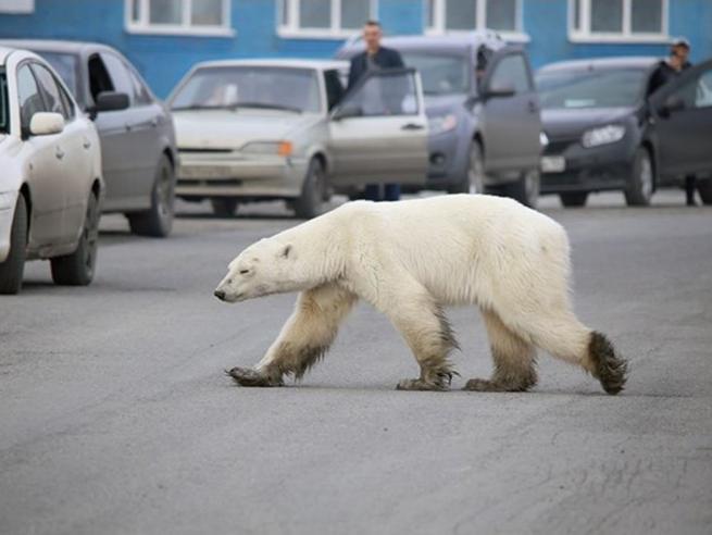 L'orsa polare (malata)  si aggira in una città della Siberia | Le foto