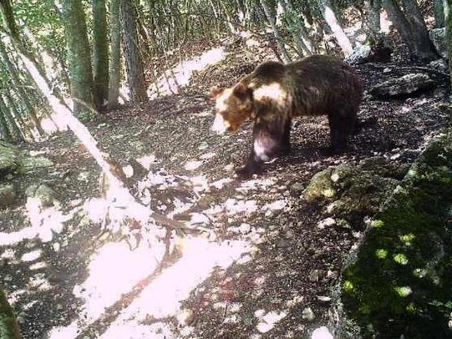 L'orso M49 è una persona: non chiamiamolo come un mitra jugoslavo