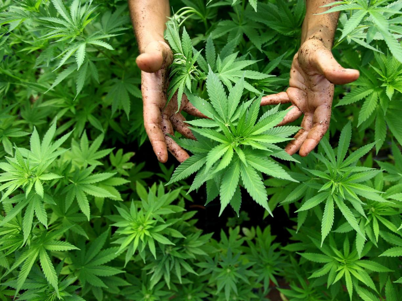 Il silenzio degli scienziati sul problema  della cannabis