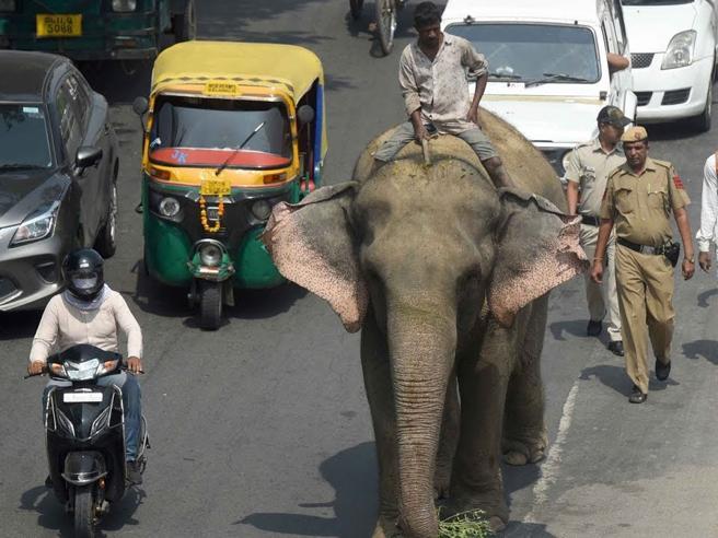 Ritrovato in città (dopo mesi)  l'ultimo elefante di Delhi
