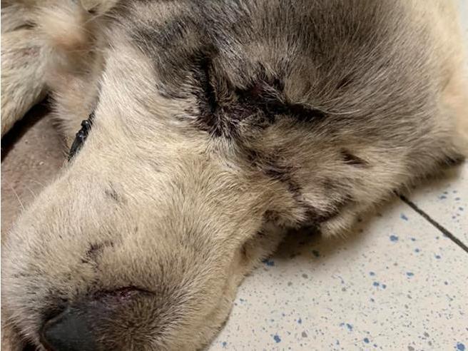 La storia di Ignazio, il cane investito e picchiato. Il sindaco di Norbello: «Mi vergogno»