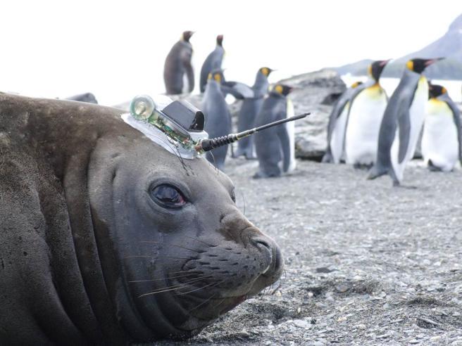 Le foche che «studiano» il cambiamento climatico