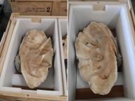 Firenze, sequestrate in aeroporto rare conchiglie giganti e un mollusco di quasi cinquanta chili