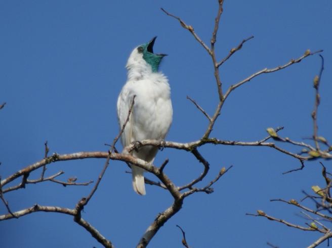 Araponga, ecco l'uccello più assordante al mondo: «Il suo canto è come un concerto rock»