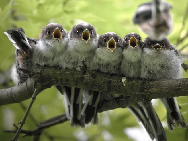 Cinque uccellini in attesa del cibo: lo scatto dell'anno nel giardino di casa