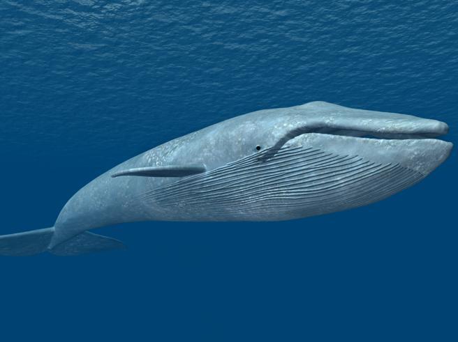 Le balene in libertà hanno un cuore dal ritmo dolce: misurato per la prima volta