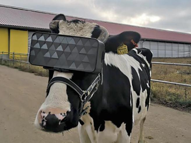 Mucche con visori per la realtà aumentata: l'esperimento in Russia