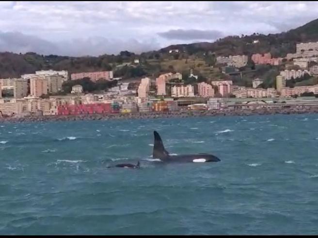 Orche in porto a Genova, cucciolo sembra non dare segni di vita