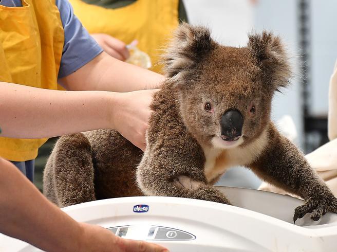 Incendi Australia, l'allarme del Wwf: «Aiutateci a salvare gli ultimi koala»