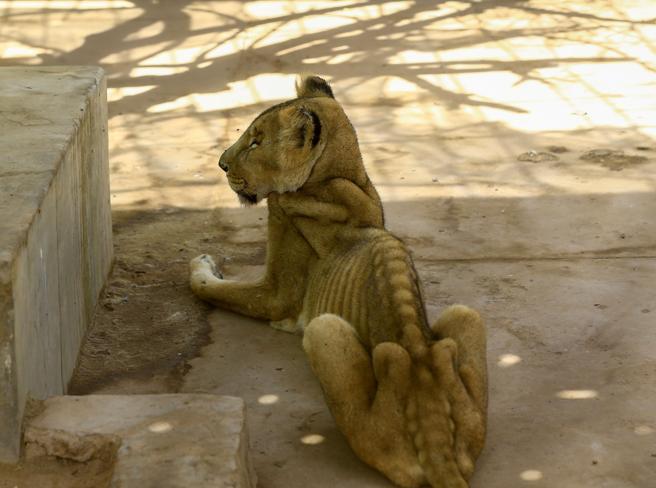 Sudan, leoni affamati e malati: campagna social per salvarli