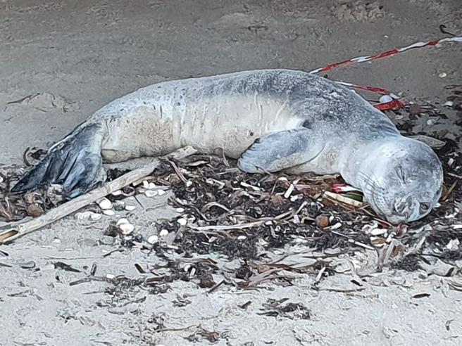 Morto il cucciolo di foca monaca ritrovato in PugliaEra troppo debole - Video