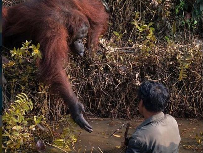 La mano tesa dell'orango Anih verso il suo custode nella pozza dei serpenti