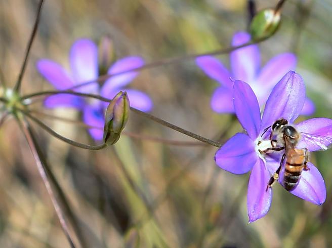 Caldo anomalo, risveglio anticipato per 50 miliardi di api. E non è un bene