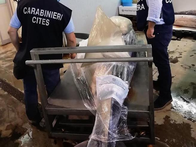 Squalo di 4 metri sequestrato prima che fosse venduto come pesce spada
