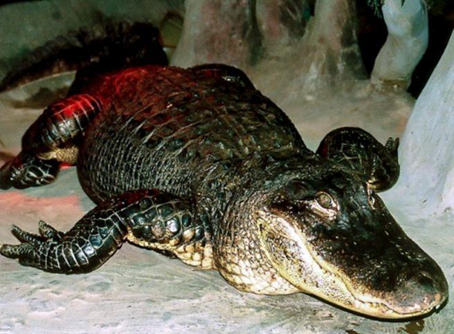 Storia di Saturn, l'alligatore americano morto a Mosca a 84 anni