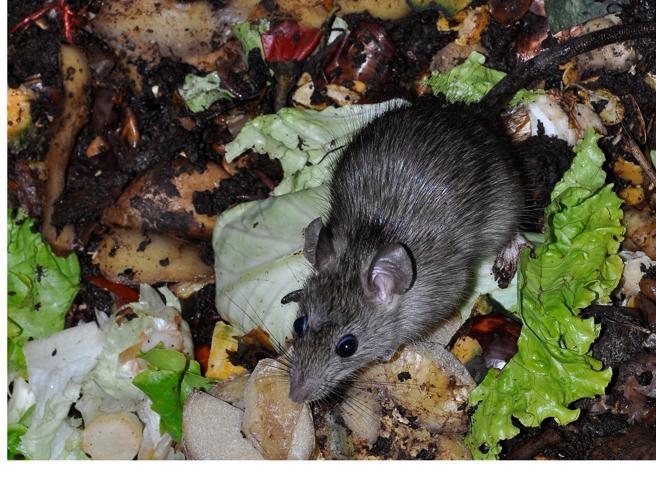 Effetto Covid: i ratti senza il cibo dei ristoranti sono diventati aggressivi