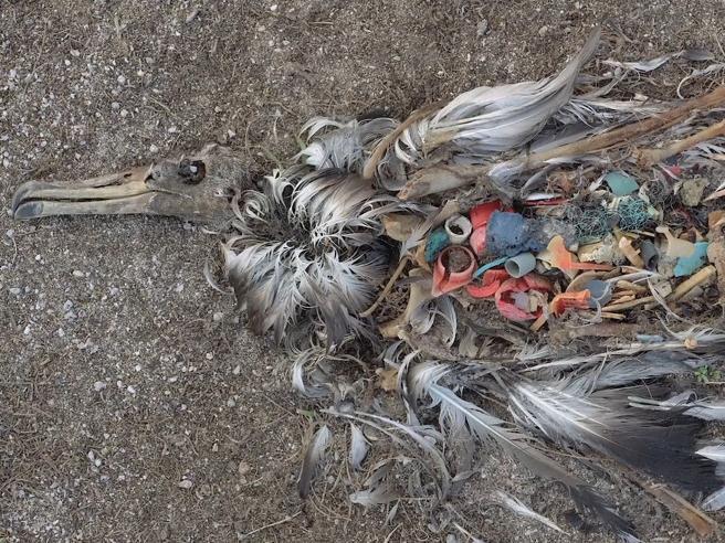 Il tragico destino degli albatros e le microplastiche che ora sono anche nelle nostre birre