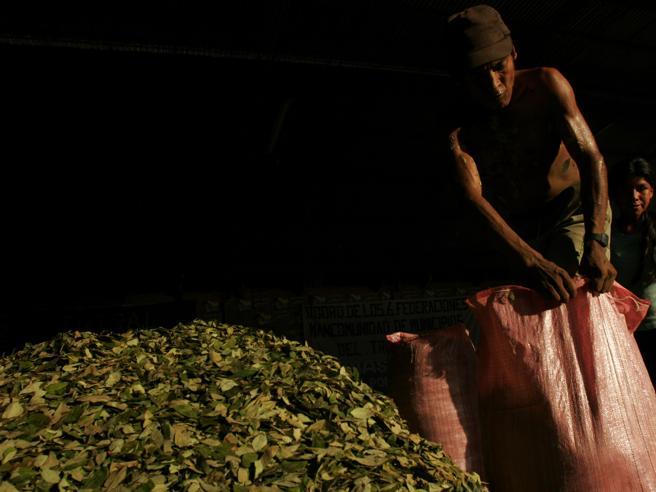 Il prezzo delle foglie di coca crolla del 73%. Ma i boss guadagnano: ecco come