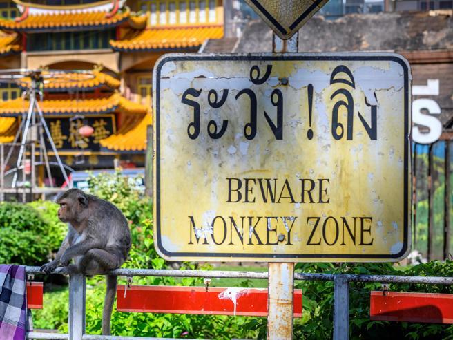 Lopburi rinnega i suoi macachi: senza turisti la città si sente prigioniera delle scimmie