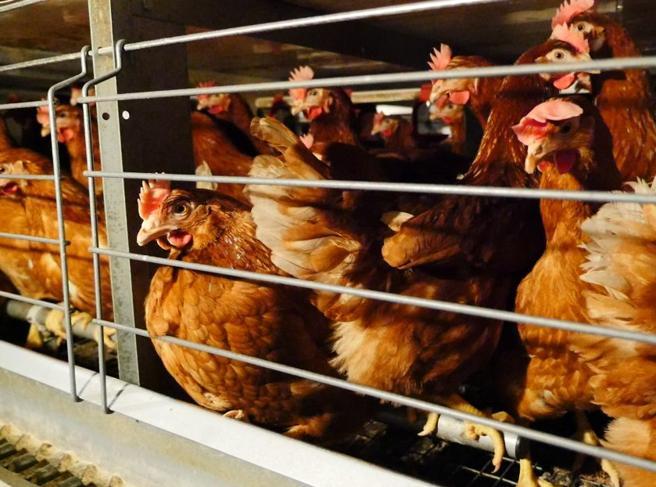 «Basta animali allevati in gabbia, il governo  italiano non resti indietro»